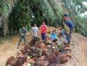 Anggota Satgas TMMD Regtas ke-107 Kodim 1204/Sanggau, Bantu Petani Panen Sawit